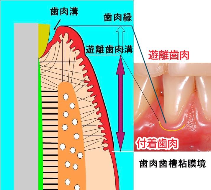 歯肉の断面(左)と表面の写真(右)